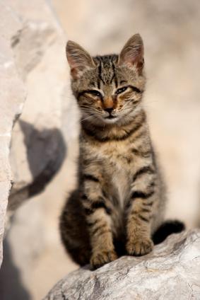 Le Coryza - Les maladies parasitaires et infectieuses du chat