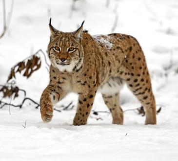 Lynx Xs Un Pere Actif Fait Des