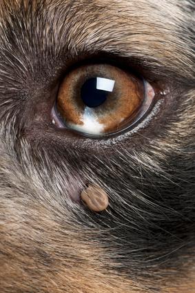 tique sur chien